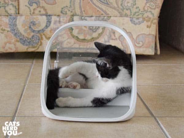 tuxedo kitten plays in surefeed microchip feeder