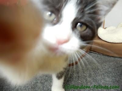 tuxedo kitten paws at camera