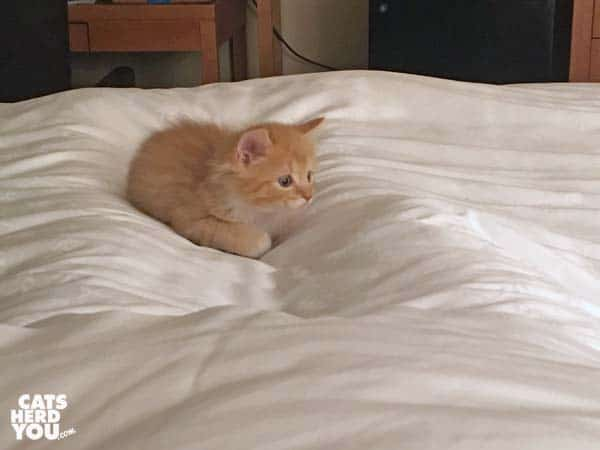orange tabby kitten crouches on bed