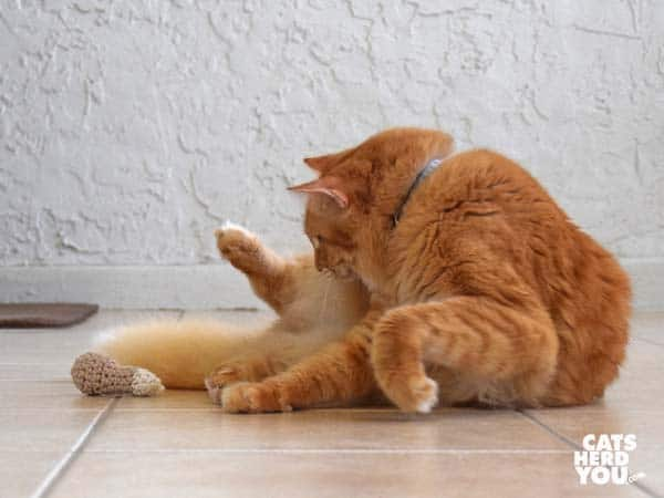 orange tabby cat sees knit chicken leg toy