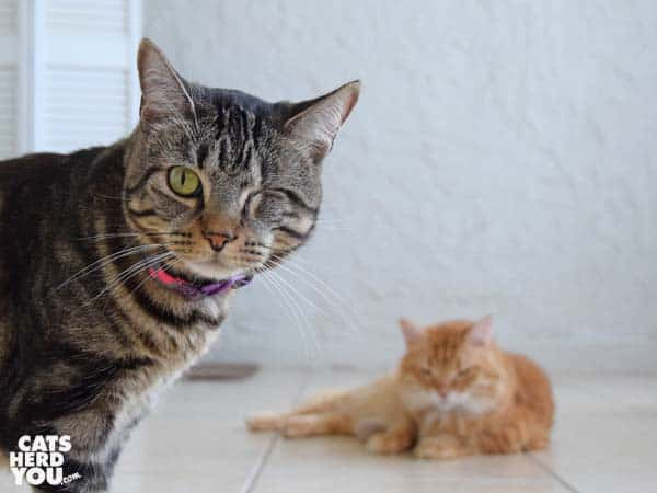 one-eyed brown tabby cat looks into camera as orange tabby cat looks on, hiding knit chkcken leg toy