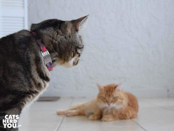 brown tabby cat looks at orange tabby cat who hides knit chicken leg toy