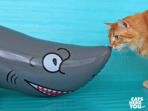 orange tabby cat looks at inflatable shark