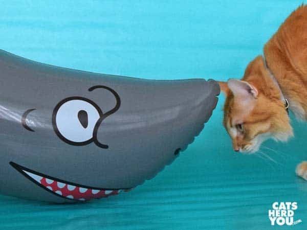 orange tabby cat looks under inflatable shark