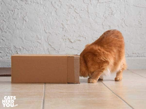 orange tabby cat peers into box