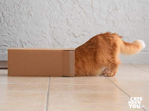 orange tabby cat steps into box