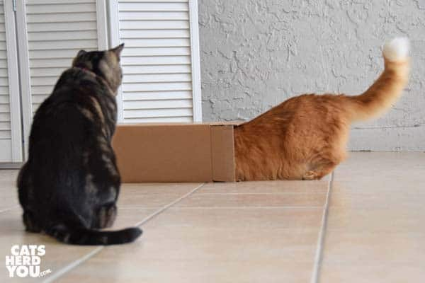 orange tabby cat has head in box as brown tabby cat looks on