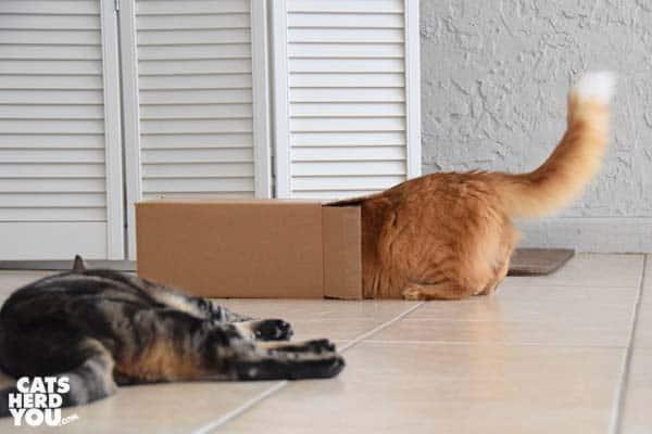 orange tabby cat looks into box as orange tabby cat lays nearby