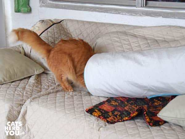 orange tabby cat enters tunnel on sofa