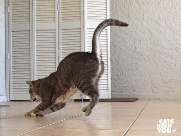 gray tabby cat chases knit chicken leg toy