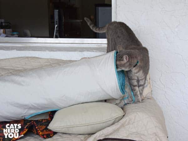gray tabby cat looks into tunnel on sofa