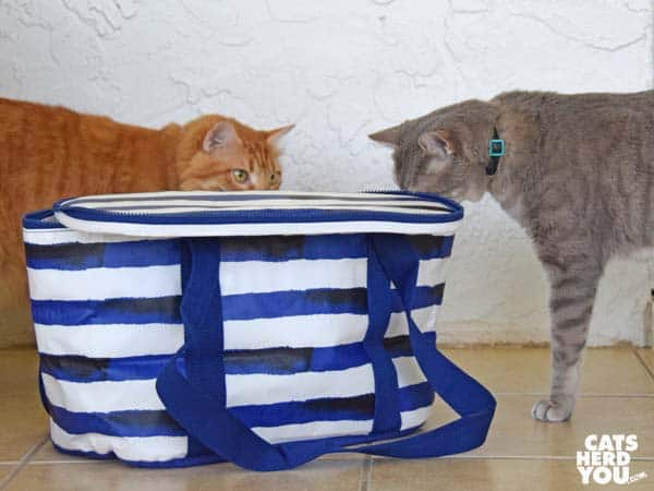 gray tabby cat looks into picnic cooler as orange tabby cat looks on