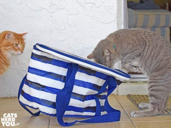 gray tabby cat attmepts to open picni cooler