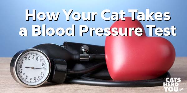 How your cat takes a blood pressure test