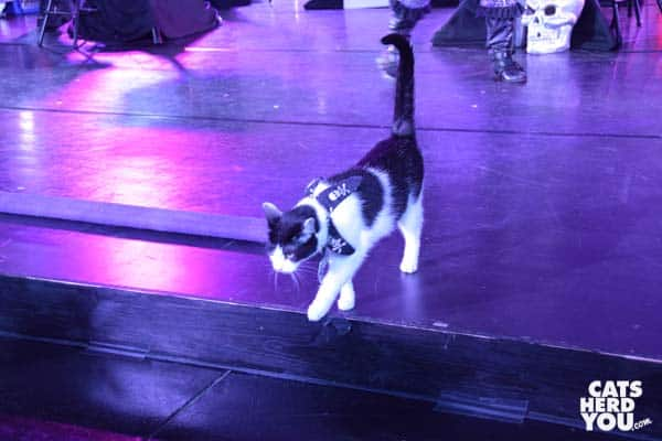 black-and-white acro-cat Jax leaves stage during Orlando performance
