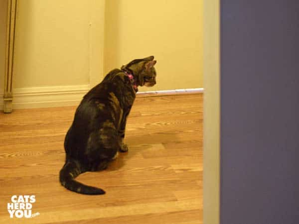 one-eyed brown tabby cat looks around corner