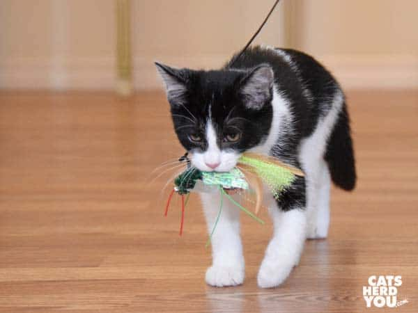 Tuxedo kitten carries feather toy