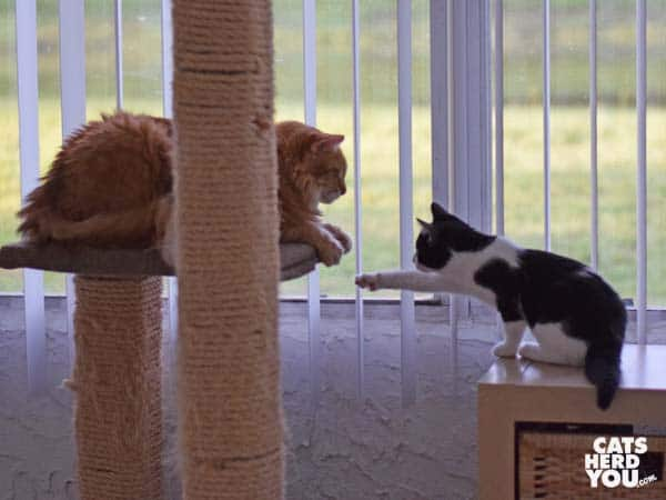Tuxedo kitten reaches for orange tabby cat on cat tree