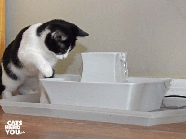 black and white tuxedo kitten paws at water fountain