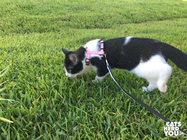 black and white tuxedo kitten on lawn