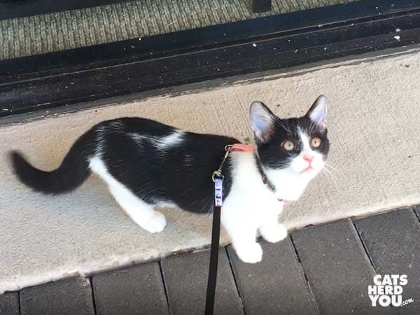 black and white tuxedo kitten on leash