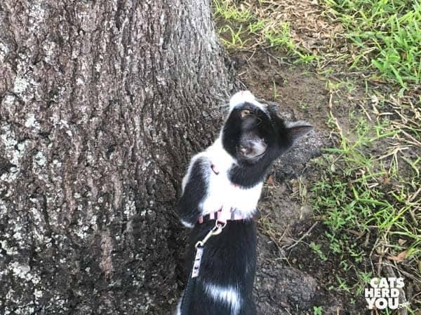 black and white tuxedo kitten looks up tree
