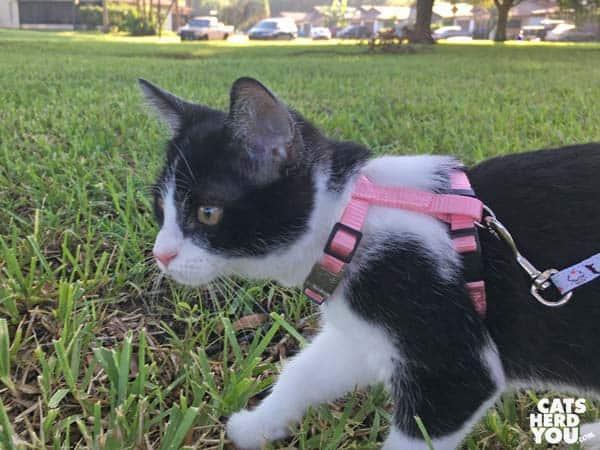 black and white tuxedo kitten outdoors wearing harness