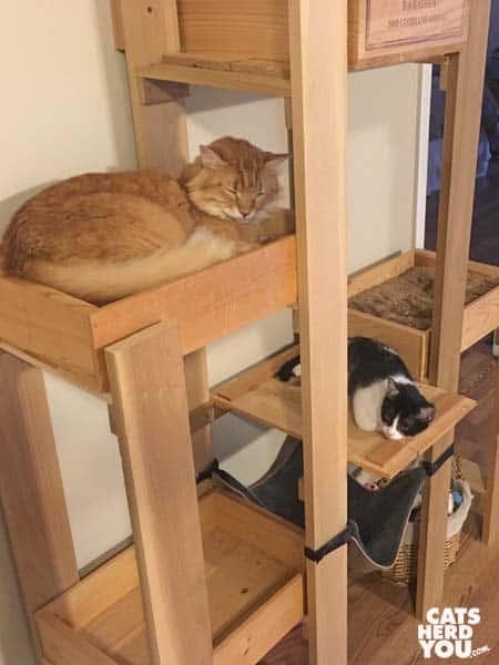 tuxedo kitten and orange tabby cat on cat tree