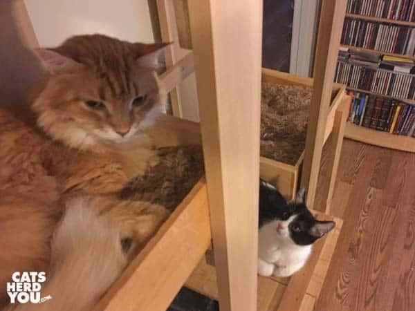 tuxedo kitten looks up at orange tabby cat on cat tree