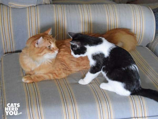 orange tabby cat and black tuxeo kitten on striped ottoman