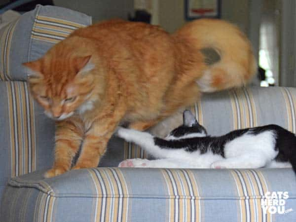 tuxedo kitten swats orange tabby cat on ottoman