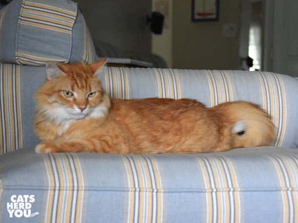 orange tabby cat on strioped ottoman