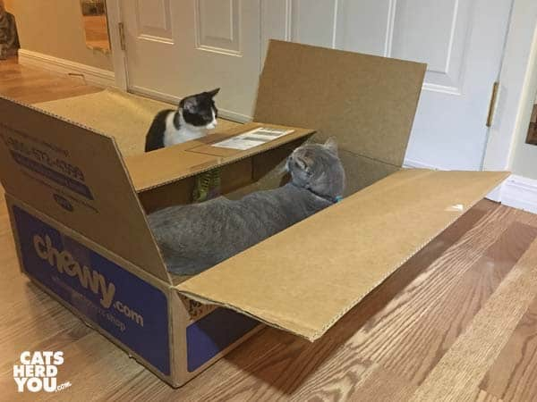 black and white tuxedo kitten teases gray tabby cat in cardboard box