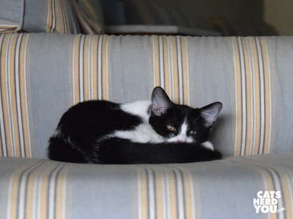 black and white tuxedo kitten on striped ottoman