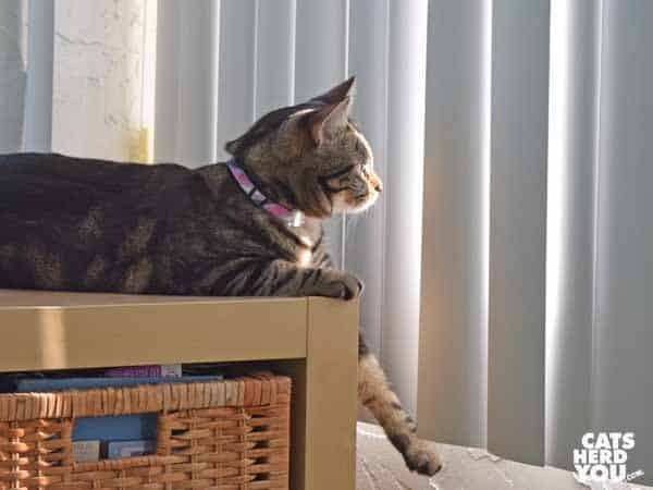 one-eyed brown tabby cat looks out vertical blinds