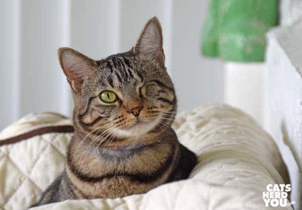 one-eyed brown tabby cat on sofa back