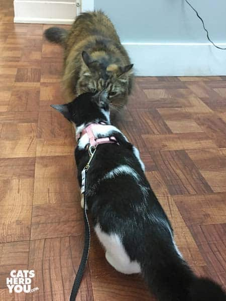 black and white tuxedo kitten meets tortoiseshell cat