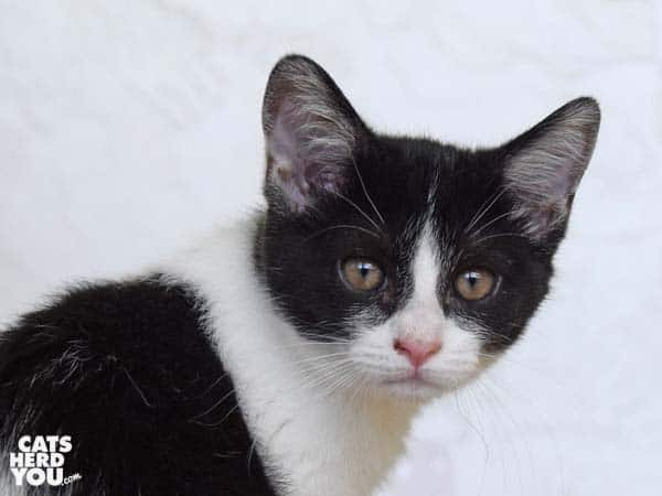 black and white tabby kitten looks over shoulder