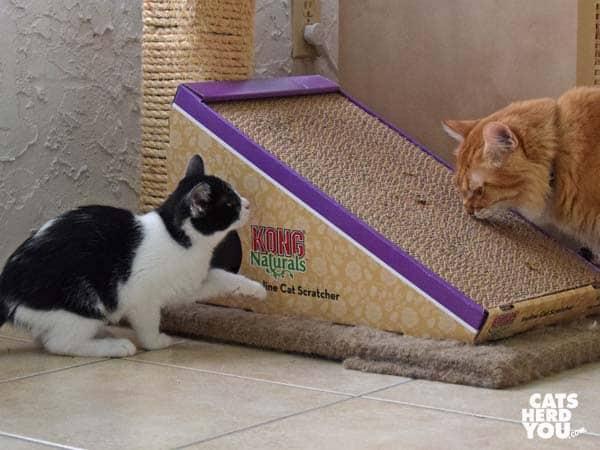 black and white tuxedo kitten approaches orange tabby cat
