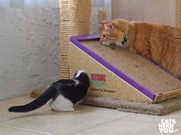 black and white tuxedo kitten plays as orange tabby cat looks on