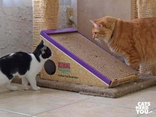 black and white tuxedo kitten looks at orange tabby cat