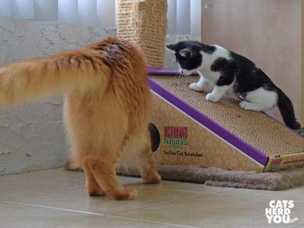 Orange tabby cat looks into hole while black and white tuxedo kitten looks on