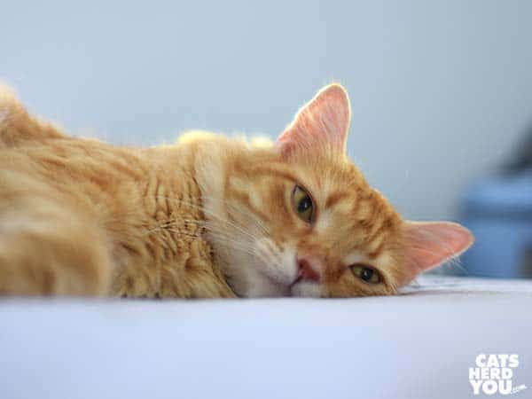 mediumhair orange tabby cat laying on bed