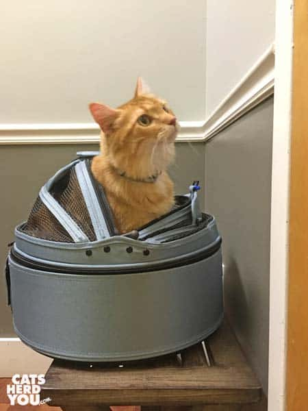 mediumhair orange tabby cat sits in sleepypod at vet's office
