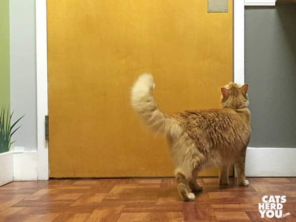 mediumhair orange tabby cat looks at door