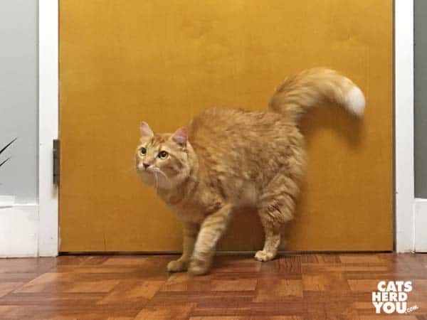 mediumhair orange tabby cat stands in front of door