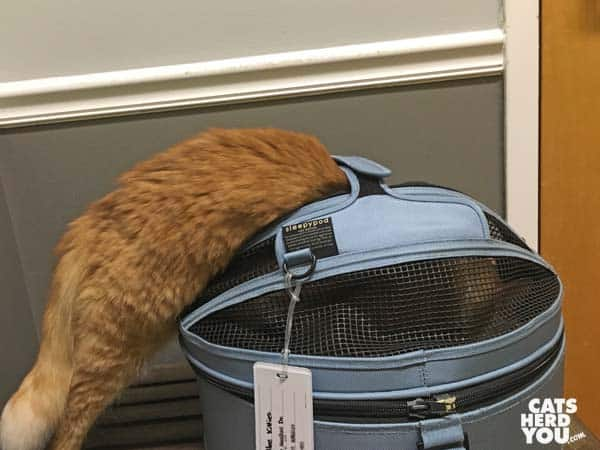 mediumhair orange tabby cat climbs into sleepypod