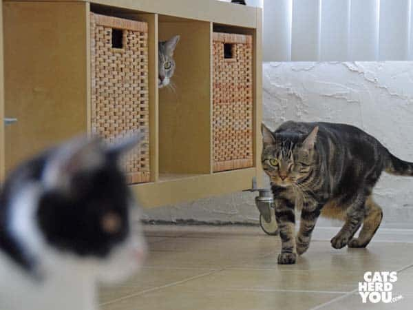 gray tabby cat hides as one-eyed brown tabby cat passes by
