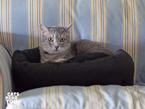 gray tabby cat sits in buster bed