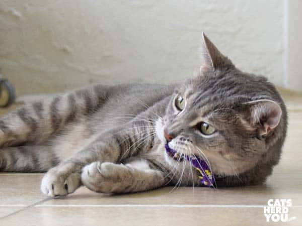gray tabby cat plays with purple catnip toy